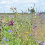 Blumenfeld im Sommer